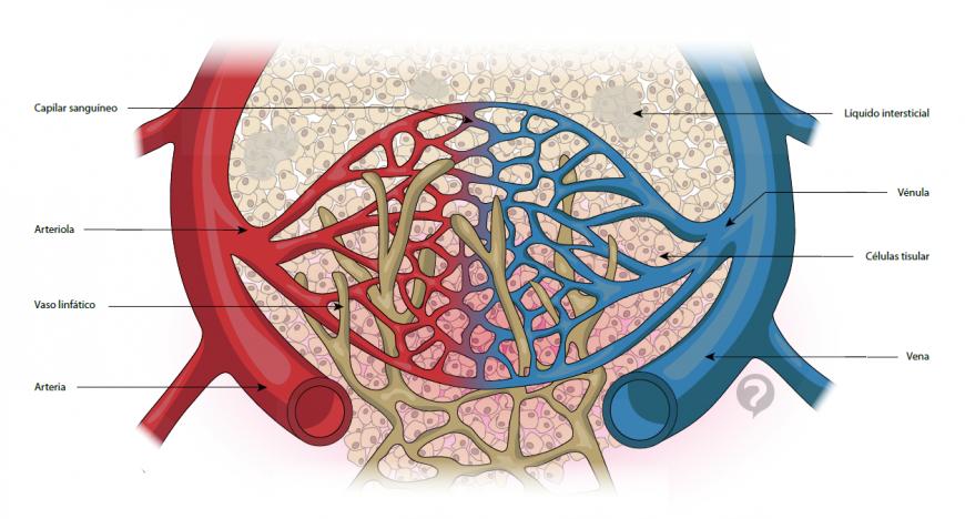 describir los vasos sanguineos arterias venas y capilares